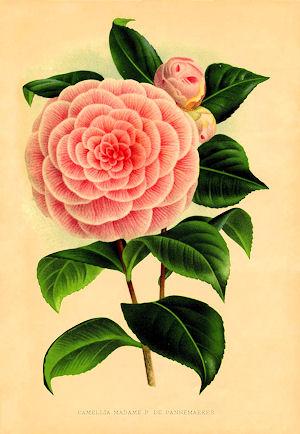 a.camelliaf.2.jpg