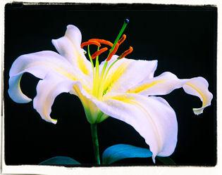 lily5.jpg