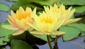 waterlily1.jpg