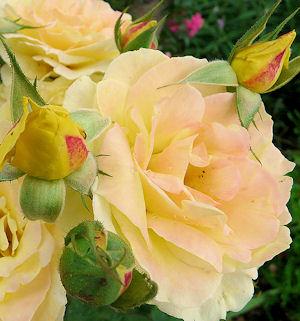 rose3.jpg