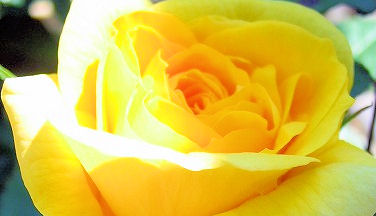 rose9.jpg